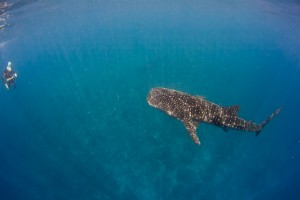 Whaleshark Swimby