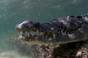 Crocodile  - Banco Chinchorro, Yucatan