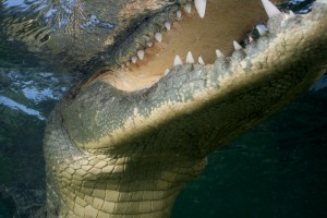Crocodile Close up - Banco Chinchorro, Yucatan
