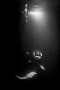 Mantas at Night under a Spot Light
