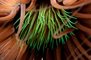 Close up of an Anemone