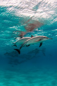 Dolphins - Red Sea
