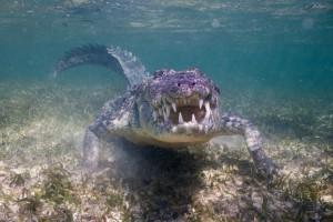 Crocodile - Banco Chinchorro