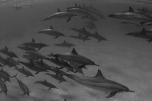 Dolphins - Sataya , B & W