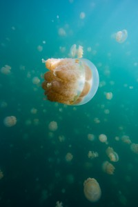 Jellyfish - Jellyfish Lake Palau