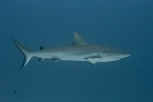 Black Tip Shark - Palau