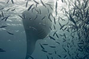 Manta Through fish