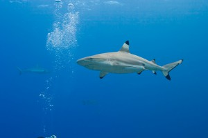 Blacktip Shark - Yap